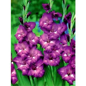 Gladiolus - Mieczyk Wielokwiatowy Macarena 5szt.