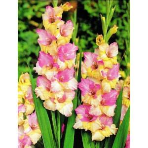 Gladiolus - Mieczyk Mon Amour 5szt.