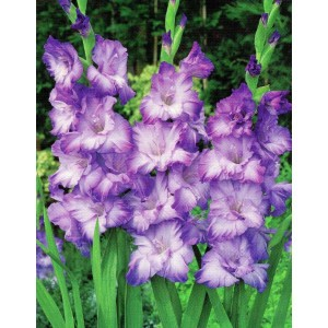 Gladiolus - Mieczyk Karbowany Nairoby Ruffle 5szt.