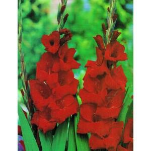 Gladiolus - Mieczyk Wielokwiatowy Oscar 5szt.