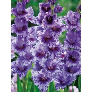 Gladiolus - Mieczyk Passos 5szt.