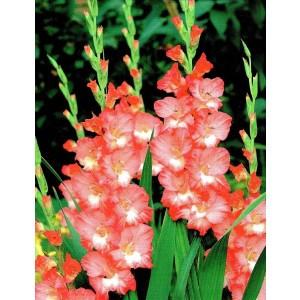 Gladiolus - Mieczyk Wielokwiatowy Pink Lady 5szt.