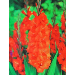 Gladiolus - Mieczyk Pomarańczowy 5szt.