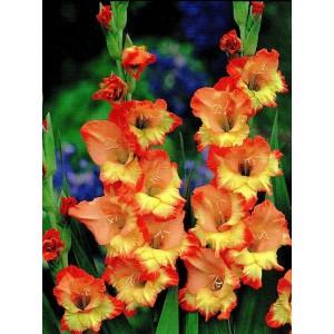 Gladiolus - Mieczyk Wielokwiatowy Princess Margaret Rose 5szt.