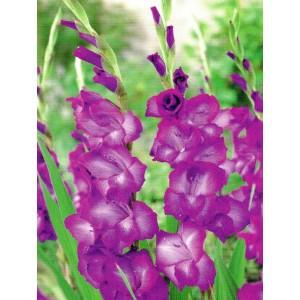 Gladiolus - Mieczyk Wielokwiatowy Purple Flora 5szt.