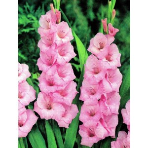 Gladiolus - Mieczyk Różowy 5szt.