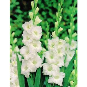 Gladiolus - Mieczyk Karbowany Snowy Ruffle 5szt.