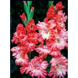 Gladiolus - Mieczyk Karbowany You Two Frizzle 5szt.