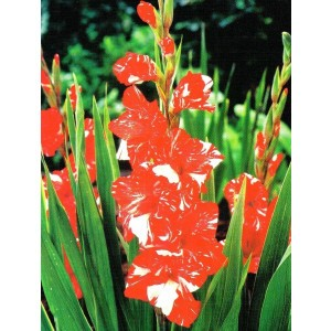 Gladiolus - Mieczyk Wielokwiatowy Zizanie 5szt.