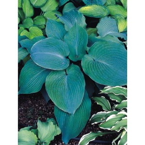 Hosta - Funkia Blue Angel 1szt.