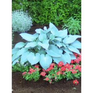 Hosta - Funkia Canadian Blue 1szt.
