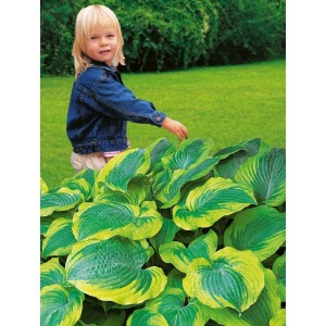 Hosta - Funkia Satisfaction 1szt.