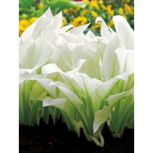 Hosta - Funkia White Feather 1szt.