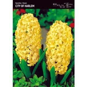 Hiacynt City Of Haarlem Żółty Cebulka 3szt