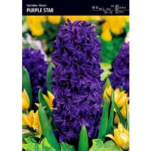 Hiacynt Purple Star Mocno Niebieski Cebulka 3 szt