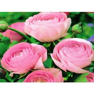 Ranunculus Jaskier Różowy Cebulka 5szt