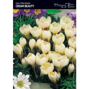 Krokus Wiosenny Cream Beauty 10szt