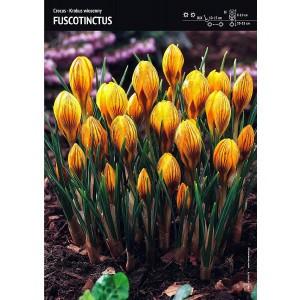 Krokus Fuscotinctus 10szt