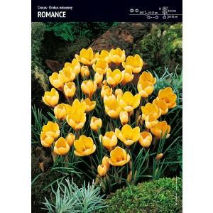 Krokus Romance Żółty Cebulka 10szt