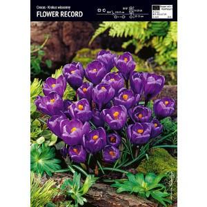 Krokus Wielkokwiatowy Flower Record Cebulka 10szt