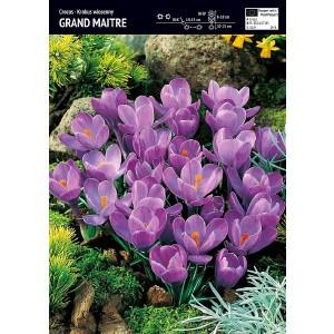 Krokus Wielkokwiatowy Grand Maitre Cebulka 10 szt
