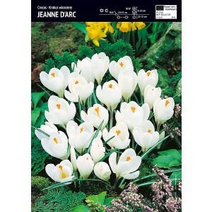 Krokus Wielkokwiatowy Jeanne d'Arc Cebulka 10szt