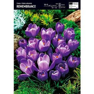 Krokus Wielokwiatowy Remembrance Cebulka 10szt