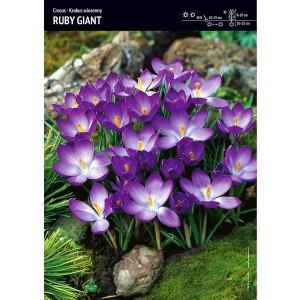 Krokus Ruby Giant Cebulka 10szt