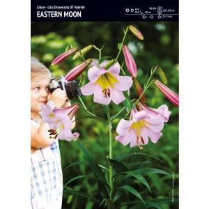 Lilia Drzewiasta Eastern Moon Cebulka 1szt