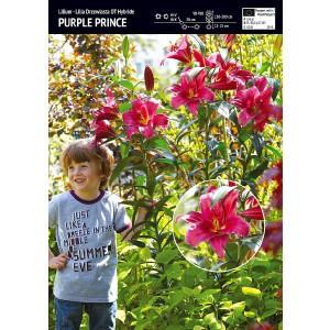 Lilia Drzewiasta Purple Prince Cebulka 1szt