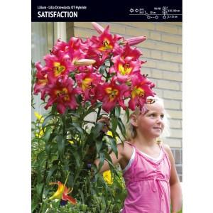 Lilia Drzewiasta Satisfaction Cebulka 1szt