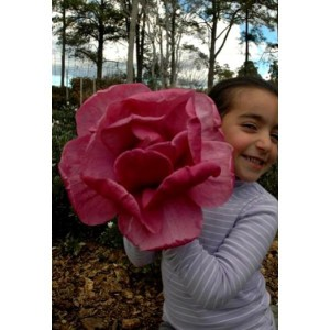 Magnolia Felix GIGANT