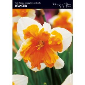 Narcyz Pomarańczowy Orangery Cebulka 5szt