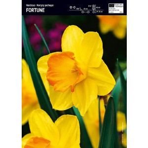 Narcyz Trąbkowy Żółty Fortune Cebulka 5szt