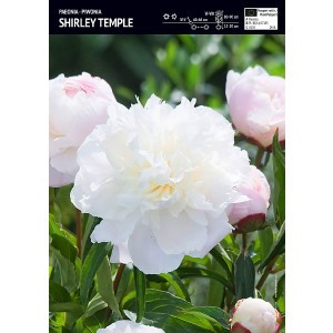 Piwonia Shirley Temple 1szt.