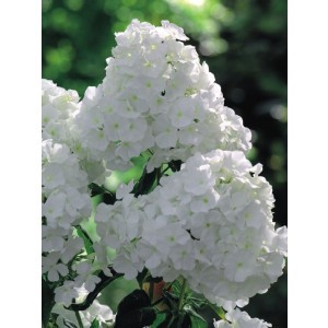 Phlox - Płomyk Wiechowaty Biały 1szt