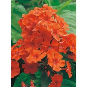 Phlox - Płomyk Wiechowaty Pomarańczowy 1szt