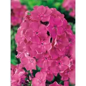 Phlox - Płomyk Wiechowaty Różowy 1szt