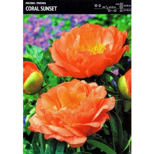 Piwonia Coral Sunset Cebulka 1szt