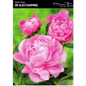 Piwonia Dr. Alex Flamming 1szt.