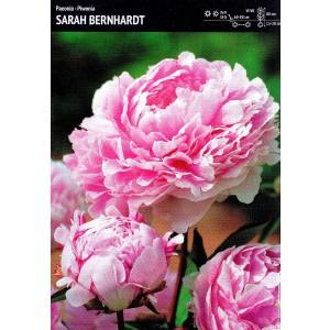 Piwonia Sarah Bernhardt 1szt.