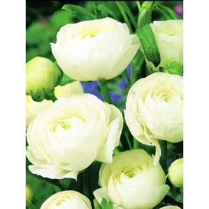 Ranunculus Biały Jaskier Cebulka 5szt