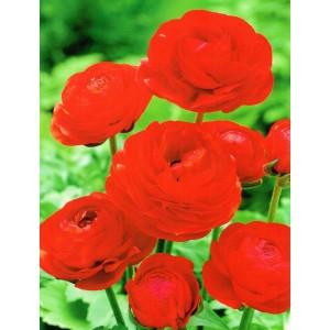 Ranunculus Czerwony Jaskier Cebulka 5szt