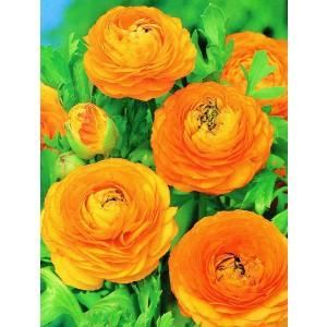 Ranunculus Jaskier Pomarańczowy Cebulka 5szt