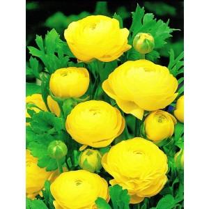 Ranunculus Jaskier Żółty Cebulka 5szt