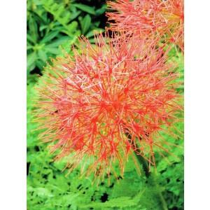 Scadoxus Multiflorus - Krasnokwiat Cebulka 1szt.