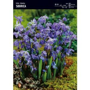 Scilla Cebulica Sibirica Fioletowa Cebulka 5szt