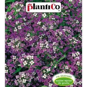Smagliczka Nadmorska Royal Carpet 0,5g PlantiCo