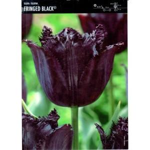 Tulipan Fringed Black Cebulka 5szt