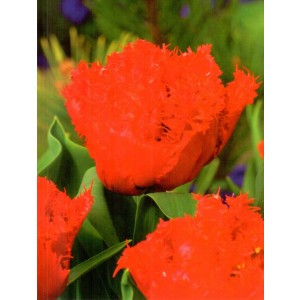 Tulipan Anfield Cebulka 5szt